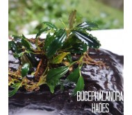 Bucephalandra Hades