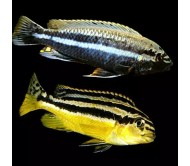 Cíclido auratus (Melanochromis auratus)