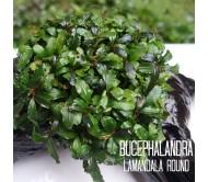 Bucephalandra Lamandala Round