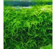 Musgo taiwan (5x5cm)