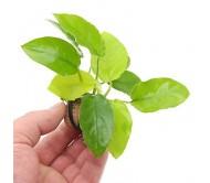 Anubias bateri var Golden (Rizoma con 4 hojas)