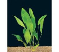 Anubia Frazeri (Rizoma de 4 a 5 hojas)