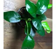 Anubias Narrow Leaf (Rizoma con 5 a 6 hojas)