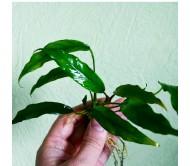Anubia mínima (Rizoma con 6 a 8 hojas)