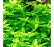 Bacopa sp japan (4 tallos)