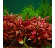 "Alternathera Reinekii ""mini"" (3 plantas)"