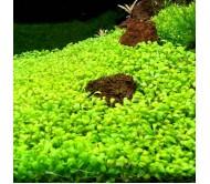 Glossostigma Elatinoides (3x3cm)