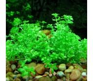 Hemianthus Micranthemoides (12 tallos)