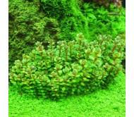 Ammania sp Bonsai (4 tallos)