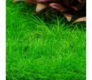 Eleocharis Acicularis mini 2x2
