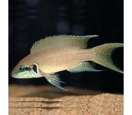Cíclido Brichardi (Neolamprologus brichardi)