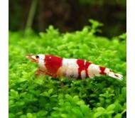 "Gamba crystal red Caridina cantonensis sp. ""Red"""