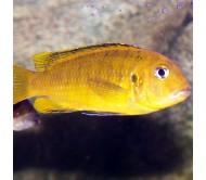Cíclido Johanni amarillo (Melanochromis johanni)