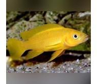 Cíclido Leleupi (Neolamprologus leleupi)
