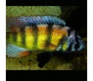 Cíclido obliquidens (Haplochromis obliquidens)