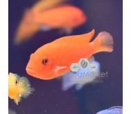 Cíclido mandarina (Pseudotropheus Mandarina)