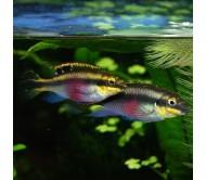 Pulcher o Kribensis (Pelvicachromis pulcher)