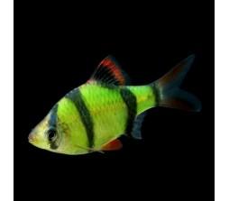 Barbo sumatrano glofish